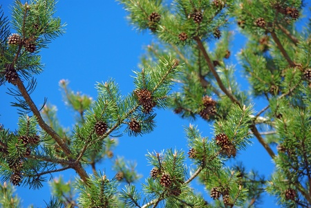 Pinetree branches and cones against blue sky background photo