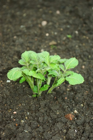 Young potato plant growing on the vegetable bed photo