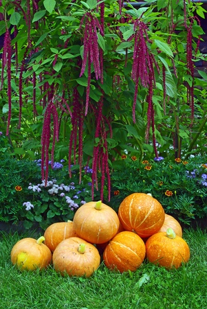 A pile of pumpkins on red amaranth plant background photo