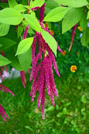 Red decorative amaranth plant in the garden Stock Photo - 12374529