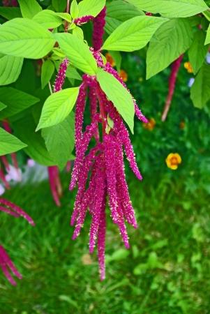 amaranth: Red decorative amaranth plant in the garden