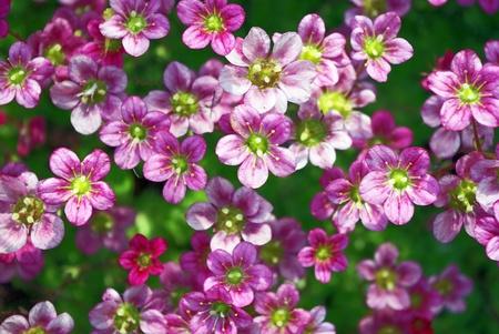 crassula: Background of blossoming succulent plant close up
