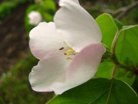 membrillo: Quince Blossom