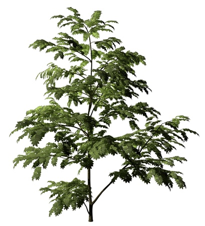 Single albizzia  tree with green leaves isolated on white background Stock Photo - 16656348