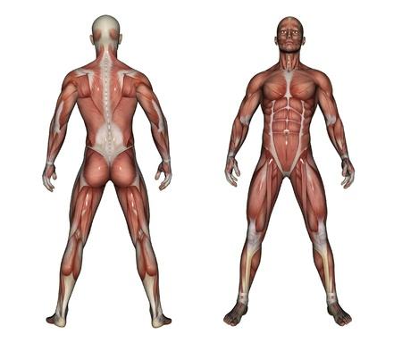 Anatomía Humana - Músculos Masculinos Hecha En 3D Fotos, Retratos ...