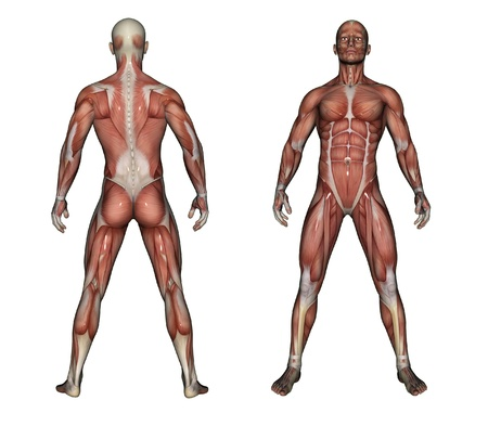 Human Anatomy - Male Muscles made in 3d software Stock Photo