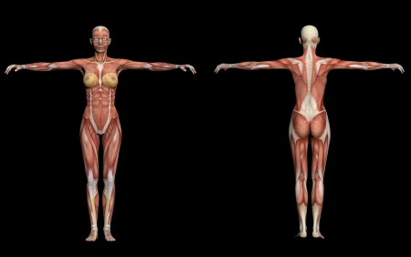 muscular anatomy: Human Anatomy - Female Muscles made in 3d software