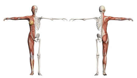 anatomically: Human body of a female with muscles and skeleton made in 3d software