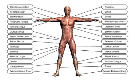 高解像度の概念または概念的な 3 D 人体解剖学、筋肉ボディに隠喩として白い背景上に分離されて