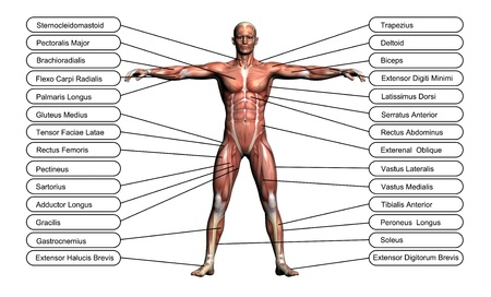 High resolution concept or conceptual 3D human anatomy and muscle isolated on white background as metaphor to body Stock Photo
