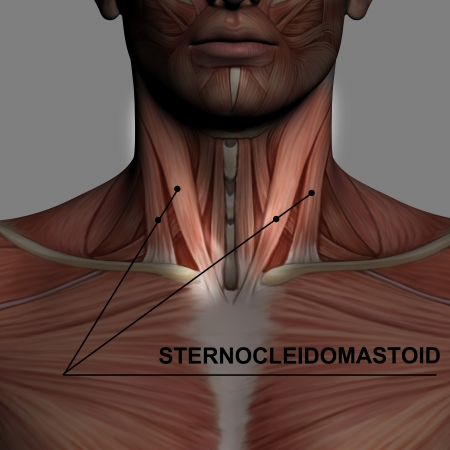 man rear view: Human Anatomy - Male Muscles made in 3d software with highlighting  sternocleidomastoid Stock Photo