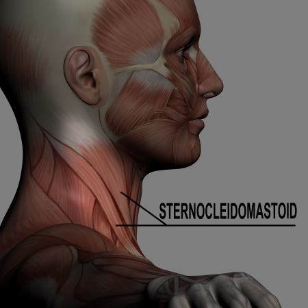 man rear view: Human Anatomy Male Muscles with highlighting  sternocleidomastoid Stock Photo