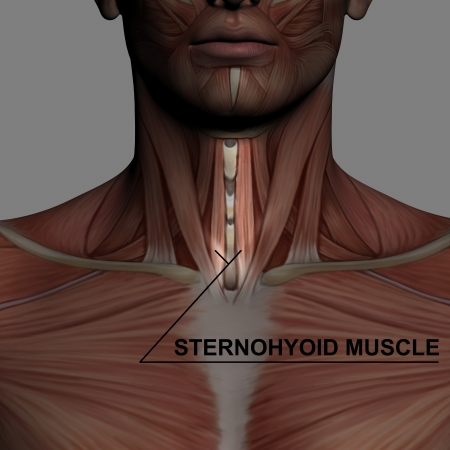 Human Anatomy Male Muscles with highlighting sternohyoid muscle