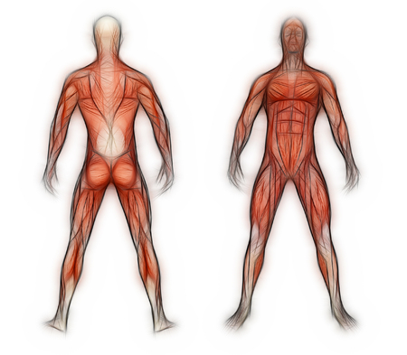 muscular build: Human Anatomy - Male Muscles made in 3d software Stock Photo