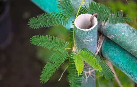 The green leaves of the plant Mimosa pudica (touch-me-not). A sensitive plant whose leaves curl when touched. Plants in the botanical garden. Ornamental green pipe fence. Place for text. Stock fotó