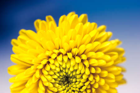 Beautiful small yellow chrysanthemum isolated on a deep blue blurry background. Macro shot of bright spring flower petals. Yellow mums flowers image. A present for Mother's Day and other holidays. Standard-Bild
