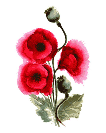 opium: Vector illustration of poppies watercolor