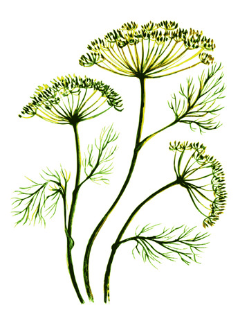 vector illustration stylized watercolor sprigs of dill, fennel Иллюстрация