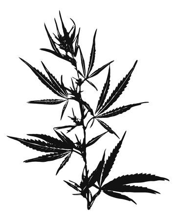 Ilustración vectorial de hojas de marihuana, Cannabis