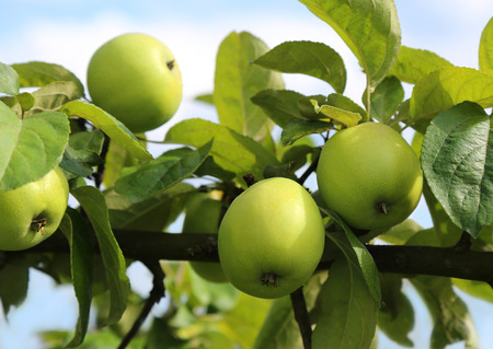 green apples: Fresh and tasty green apples on a tree branch.
