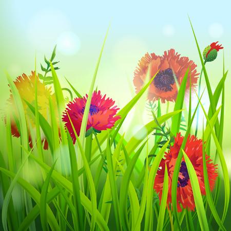 red poppy: Red Poppy in Grass. Vector illustration.