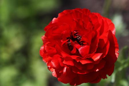 buttercup: Flower bright scarlet buttercup.