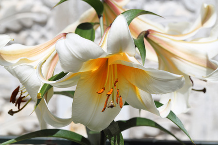 magic lily: Zephyranthes flower. Common names for species in this genus include fairy lily, rainflower, zephyr lily, magic lily, Atamasco lily, madonna lily and rain lily