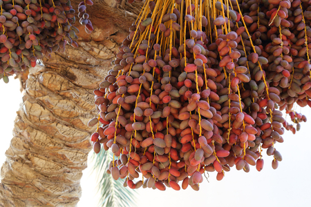 Closeup of the cluster of red dates. Egypt