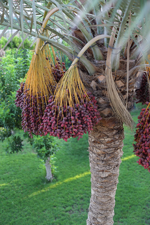 kimri: The clusters of red dates on palm tree. Egypt Stock Photo