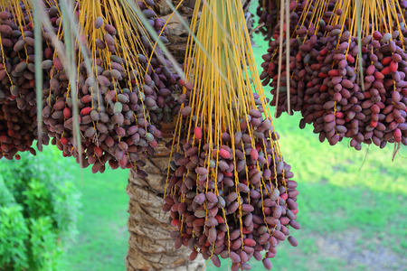 kimri: Closeup of the cluster of red dates. Egypt