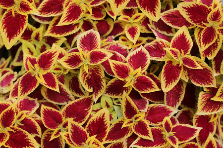 Laves background. Summer ornamental plant with bright red and yellow leaves, which used to decorate beds and flower beds. Stock Photo