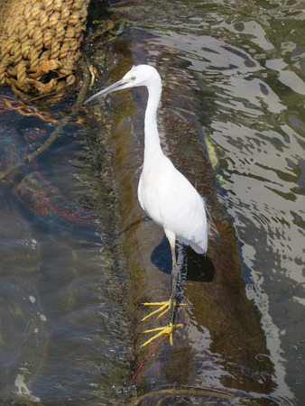 everglades national park: Nile heron standing on a pier. Stock Photo