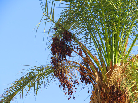 dioecious: Date palm branches with ripe dates. Egypt.