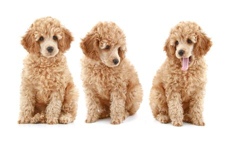 three apricot poodle puppy on white background Stock Photo