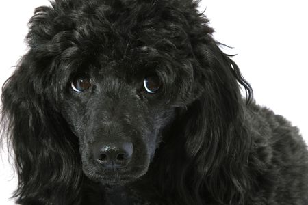 Black small poodle on white background