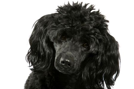 Black small poodle on white background.