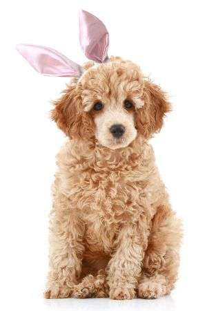 Apricot poodle puppy in rabbit ears. Isolated on white background