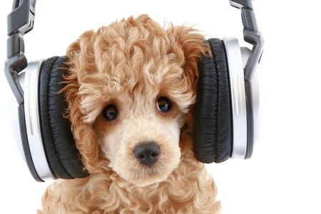 Apricot poodle puppy listening to music on headphones, isolated on white background
