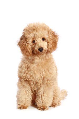 ridicolo: Apricot cucciolo barboncino, isolato su sfondo bianco Archivio Fotografico