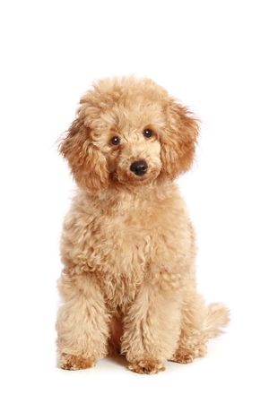 Apricot poodle puppy, isolated on white background Stock Photo