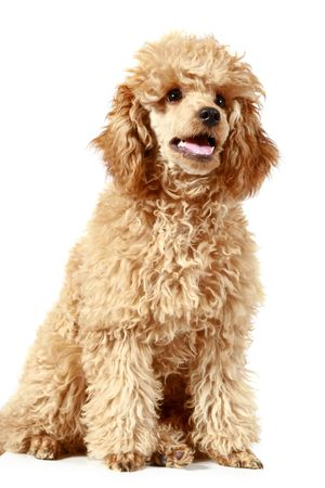 Small apricot poodle, isolated on white background