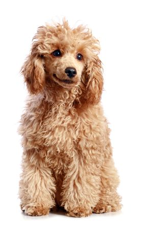 Albaricoque perrito poodle. aislados sobre fondo blanco