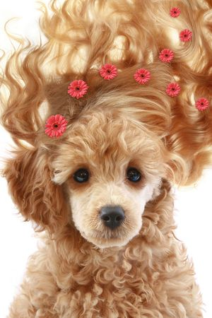 Small apricot poodle puppy with long hair on white background