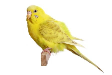 budgerigar: Yellow budgerigar on a branch isolated on white background