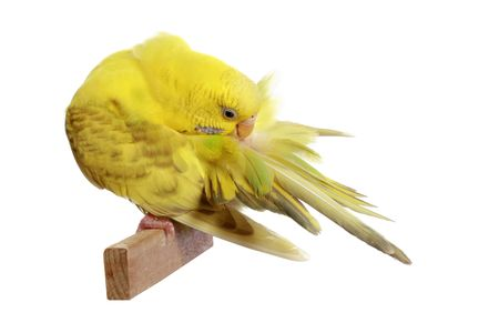 Yellow budgerigar isolated on white background Stock Photo