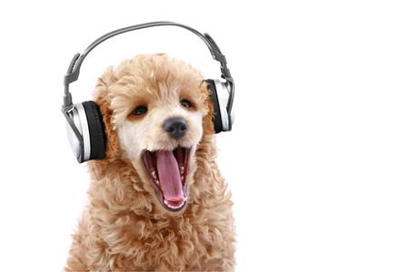 Apricot poodle puppy listening to music on headphones, isolated on white background photo