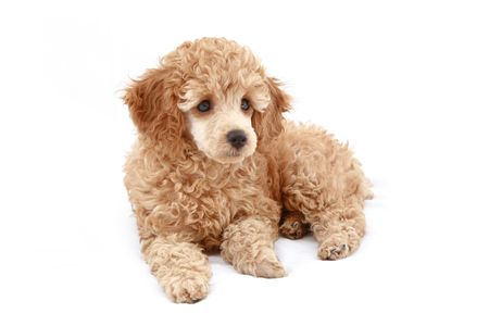 Apricot poodle puppy, isolated on white background photo