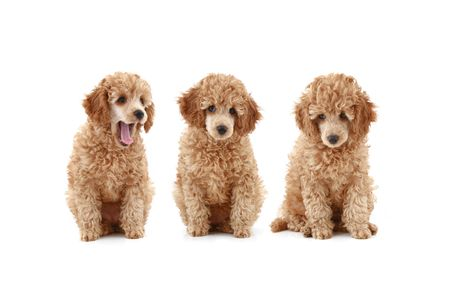 Three apricot poodle puppy, isolated on white background Stock Photo