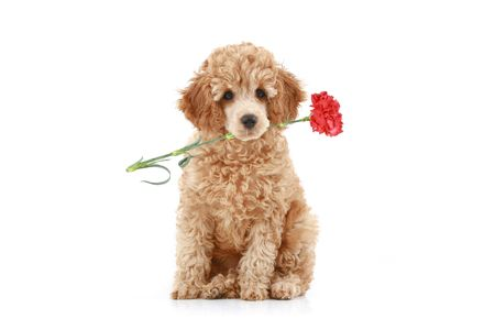 Apricot poodle puppy with red carnation. Isolated on white background