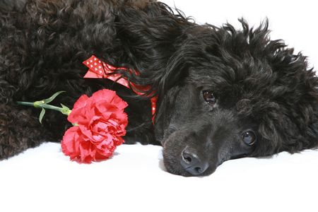 Black poodle with red carnation on white background